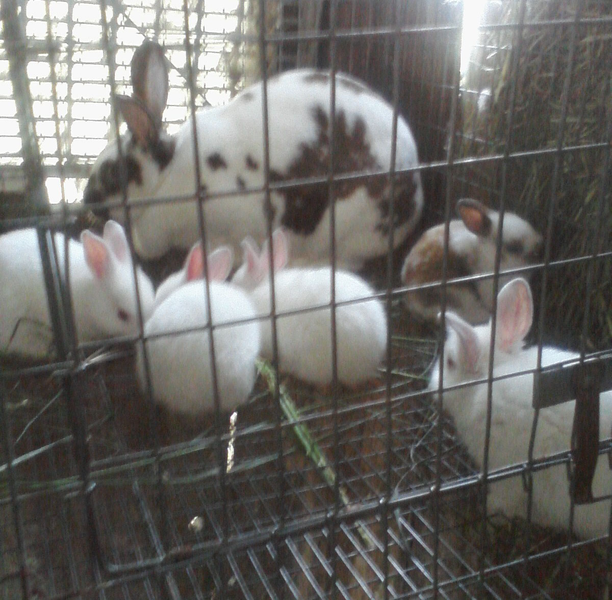 Rabbit Sallie Cali Litter May 15