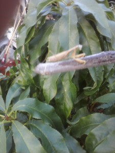 Greenhouse 2020 Preying Mantis WHITE late oct13